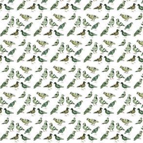 pigeons (small)