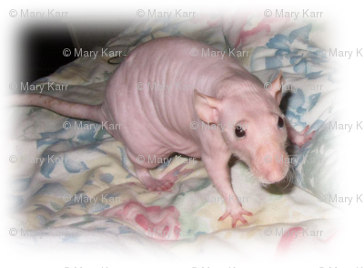 Hairless Fancy Rat