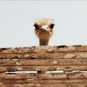 peruvian ostrich