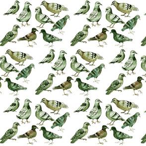 pigeons_-_dense