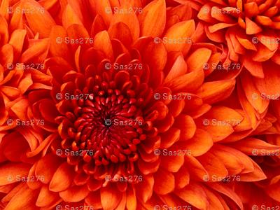 Chrysanthemum_preview