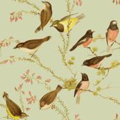 Birds of Australia ~ Robins and Gerygones ~ Sylvan