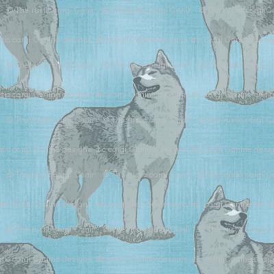 Posing Siberian Husky - blue