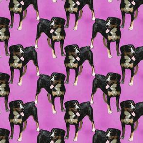 Posing Entlebucher mountain dog - pink