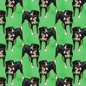 Posing Entlebucher mountain dog - green