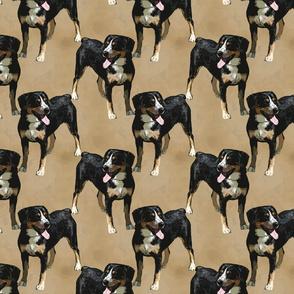 Posing Entlebucher mountain dog - tan