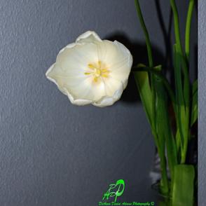 Tulips Bare