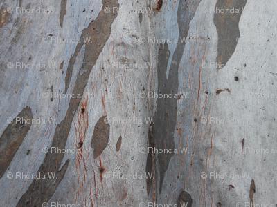 Light and Shadows on the Eucalyptus Tree (Ref.1651b)