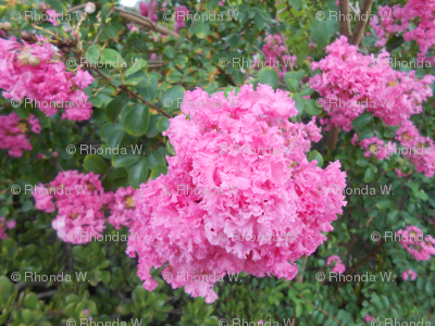 Myrtle's Lovely Lacy Blossoms (Ref. 1193)