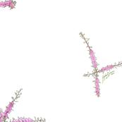 Hakea 'Burredong Beauty' - Hakea myrtoides x petiolaris