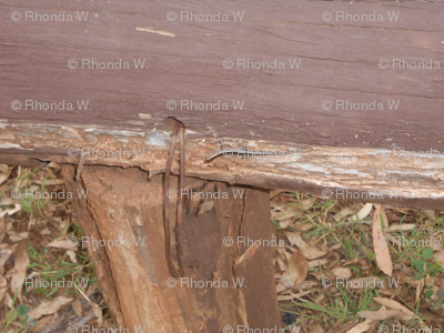Little Lizards Lurking on the Wonky  Wood - Horizontal Stripes (Ref. 1488)