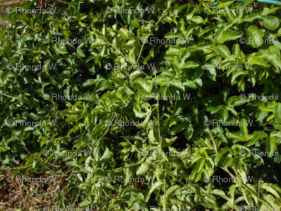 Entwined Passionfruit Vines - Vertical Stripes (Ref. 0022)