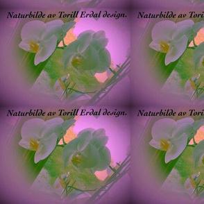Orchide plant.....