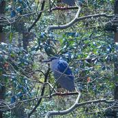 Night heron in tree