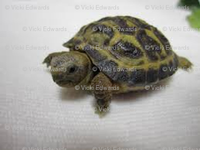 Russian_tortoise_baby_preview