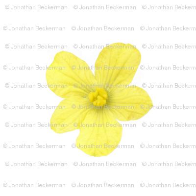 Watermellon_flower_071314_3_blk_preview