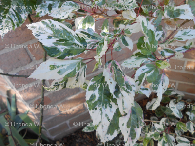Silver-Tipped Hibiscus Leaves (Ref. 4167)