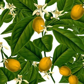 Lemon Botanical