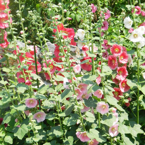 Hollyhocks in summer