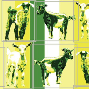 the goats are laughing at you