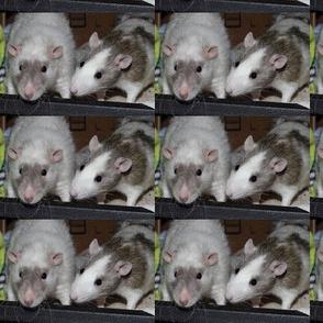 Two Fancy Rat Pals