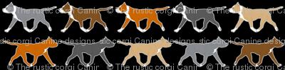 Trotting American Staffordshire Terriers small border B