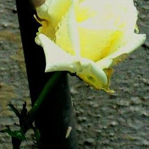 rose_petal