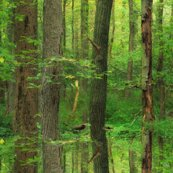 Rrrforest_for_the_trees___peacoquette_designs___copyright_2015_shop_thumb