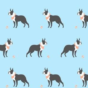 Boston Terrier blue