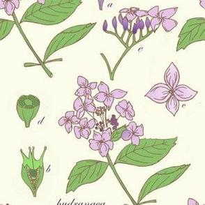 Hydrangea Macrophylla Botanial Illustration