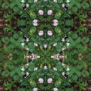 Impressions of the Pixie's Pelargonium Garden (Ref. 0382)