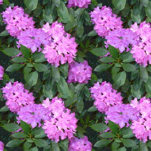 Rhododendron_Cd