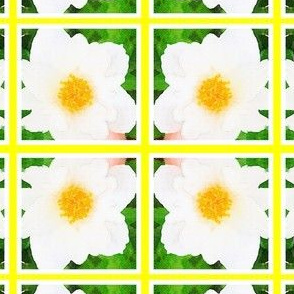 Large bordered Daisy