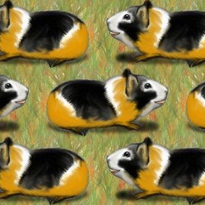 Tricolor Guinea Pigs