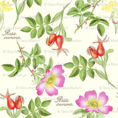 bothanical8-rosa-canina