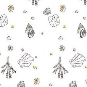 Dornoch beach seashells
