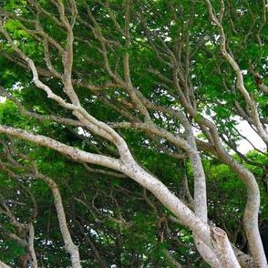Hawaiian Tree Tops