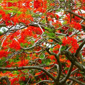 Red Hawaiian Tree Tops