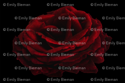 The Rose by Emily on54