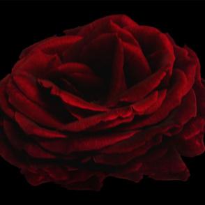 The Rose for Celosia Velvet