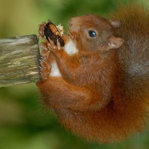 Squirrel - eekhoorn