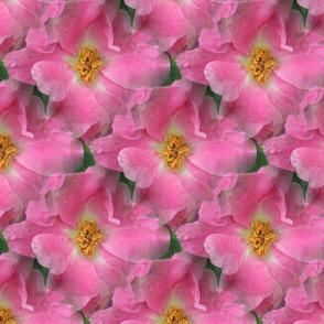 GIMP_SSD_pink_rose_IMG_1496
