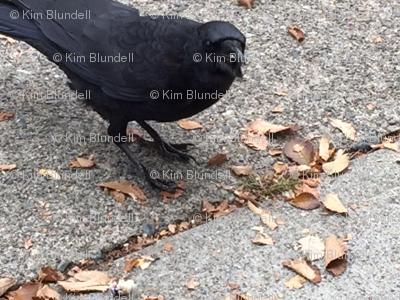Crow X 4