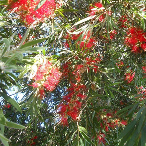 Flamboyant Bottlebrush - Extra Large Scale (Ref. 4855c)