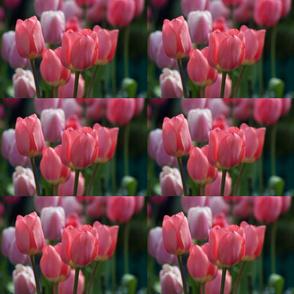 Litchfield Tulips