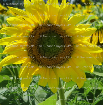 Pope_Farm_Sunflowers