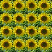 Rpope_farm_sunflower_shop_thumb