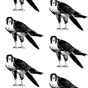 Peregrine Falcons // Large