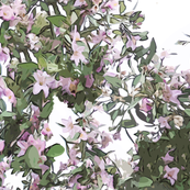 Lagunaria patersoni - Australian Primrose Tree Spaced