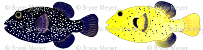 Guineafowl Puffer fish Black and Yellow
